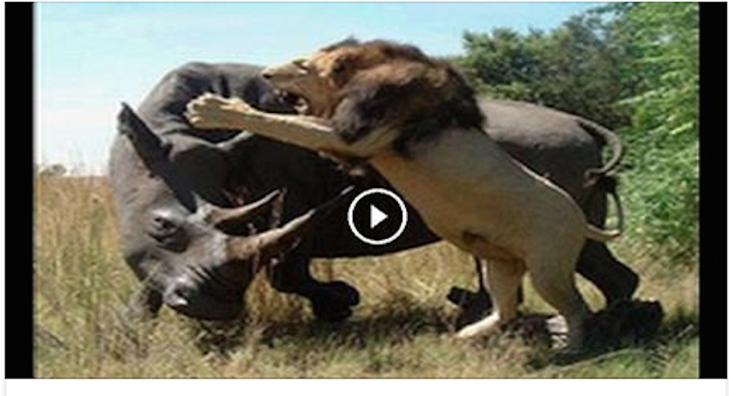 Lion vs Rhino who is the strongest!?