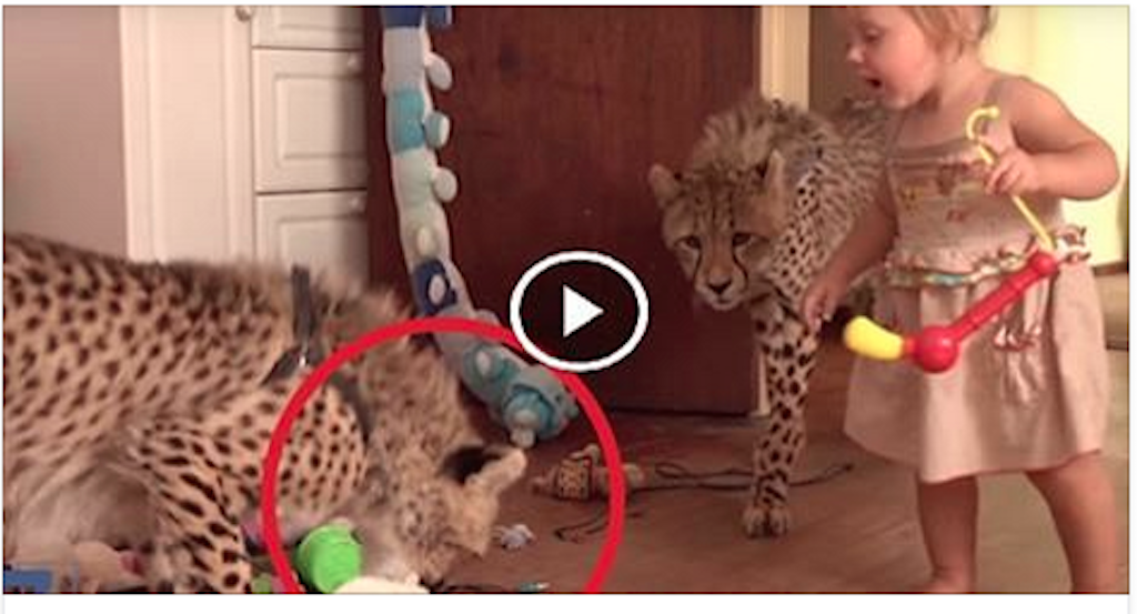 2 CHEETAHS TAKEN ... are not BELIEVE they have with the REPORT CHILDREN!